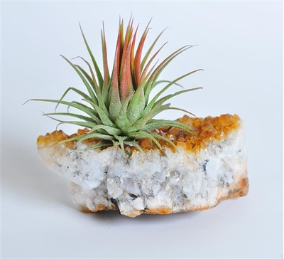 תמונה של אבן השפע וצמח אוויר